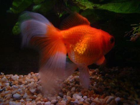 peces para acuario de agua fria | facilisimo.com