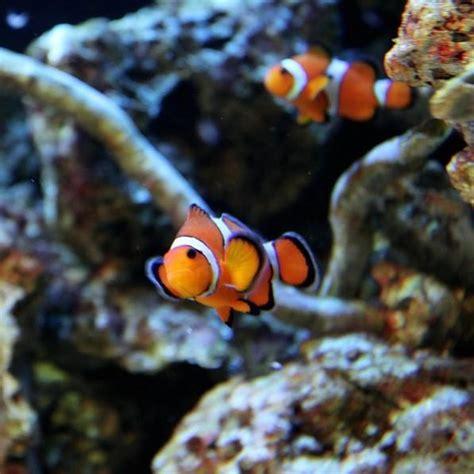 Peces tropicales para un acuario