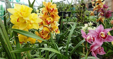 Peces y plantas ornamentales: Cymbidium   Cimbidios