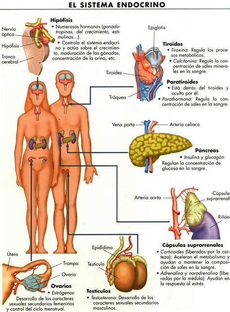 Pedagogia: Sistema endocrino