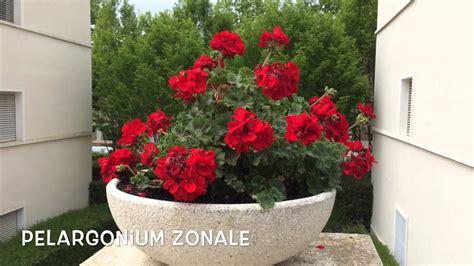 Pelargonium zonale. Garden Center online Costa Brava ...