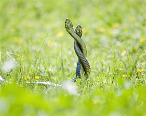 Pelea de serpientes hd 1280x1024   imagenes   wallpapers ...