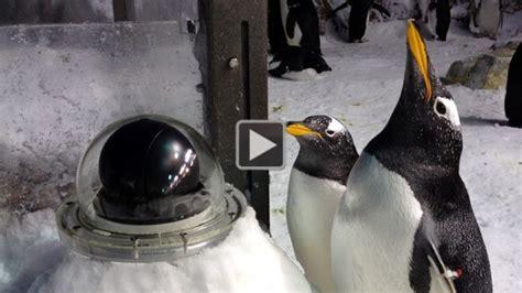 PenguinCam: la webcam de los pingüinos en directo del ...