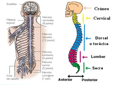 Peripheral Nervous System: Parts and Functions  with ...