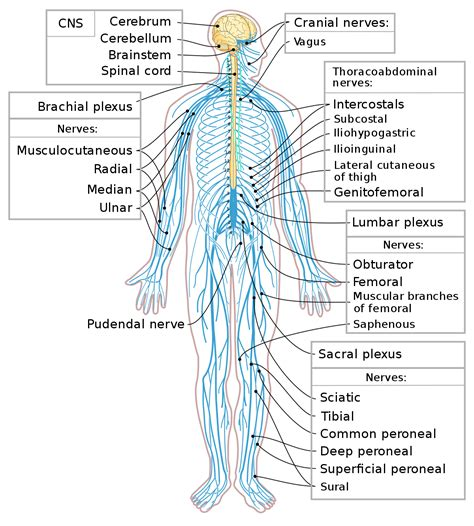 Peripheral nervous system   Wikipedia