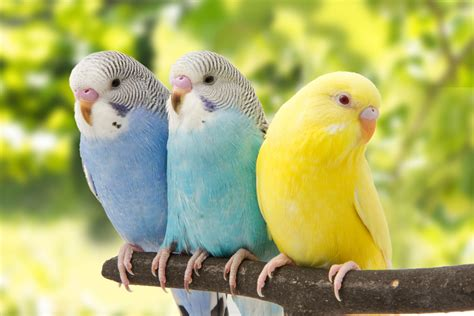 Periquitos: Las Aves Domésticas Más Comunes | Aves Exóticas