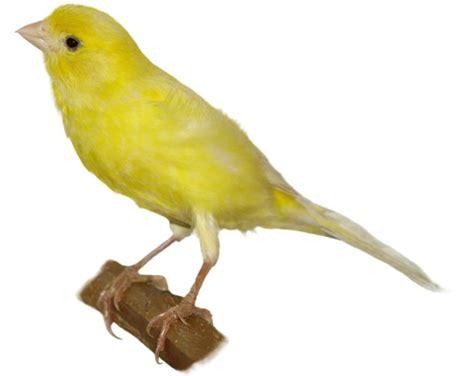 Petmania  Tamed Birds  Canaries  Canary