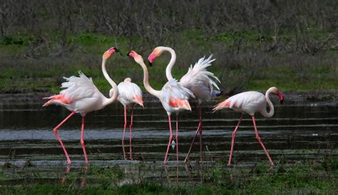 Phoenicopterus roseus, Flamenco, video en Waste magazine