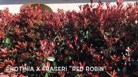 Photinia x fraseri  Red Robin . Garden Center online Costa ...