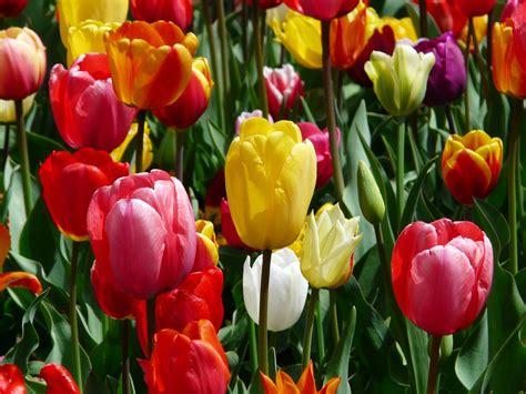 Photo gratuite: Tulipes, Tulpenbluete, Fleurs   Image ...