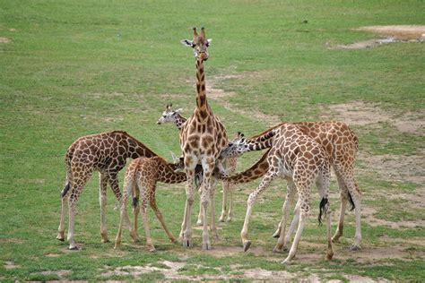 Pics Of Baby Giraffes | www.pixshark.com - Images ...