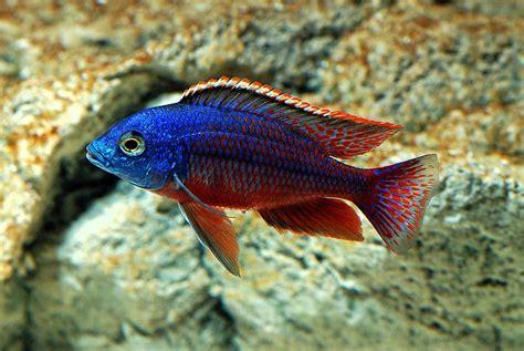 pics of tropical fish   Freshwater Fish For Aquarium ...