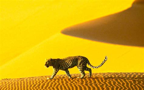 Pictures OF Animals Cheetah Wallpapers Images Photos ...