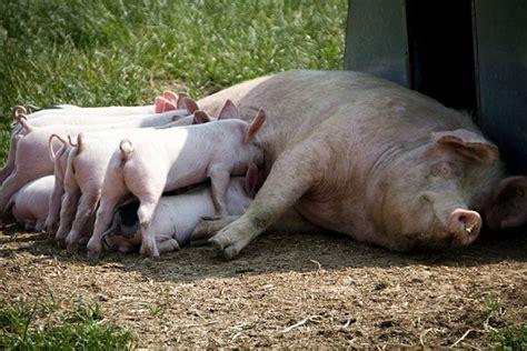 Pigs | Animal Welfare Institute