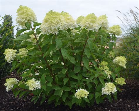 Plant Preview: How to Train a Flowering Shrub into a ...