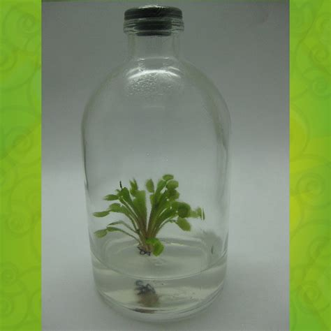 Planta Carnivora In Vitro Dionaea Muscipula Vitroplantas ...