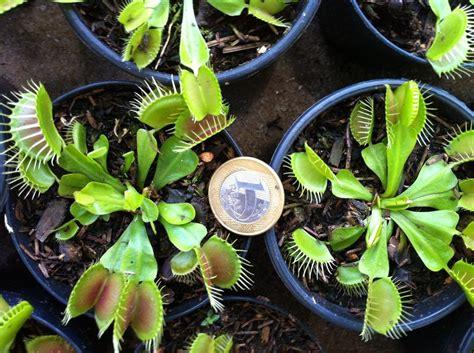 Planta Carnívora - Venus Flytrap Adulta Plantas Grandes ...