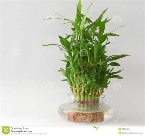 Planta De Agua De Bambú Casera En Un Frasco De Agua Foto ...