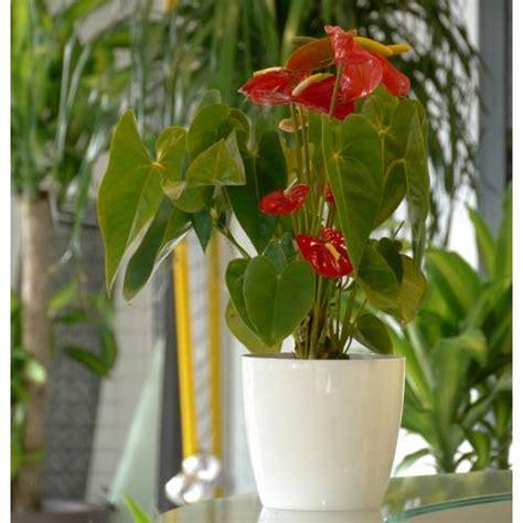 Planta de interior Anturio rojo + Maceta Blanca : venta ...