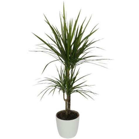 Planta de interior Dracaena + Maceta Blanca : venta Planta ...