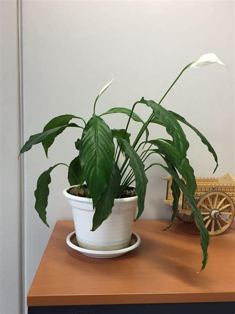 Planta De Interior Resistente. Simple Planta Interior Poca ...