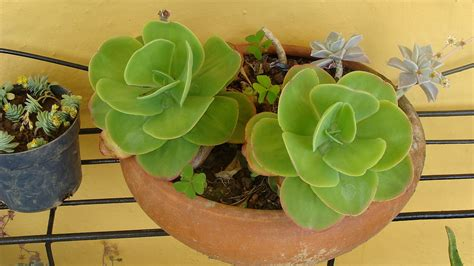 Planta de jade (Crassula ovata): aprende cómo cultivarla y ...