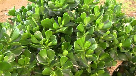 PLANTA DE JADE: Crassula ovata (http://www.riomoros.com ...