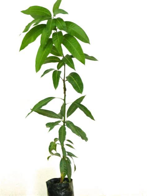 Planta de mango Irwin para comprar online • Campo de Benamayor