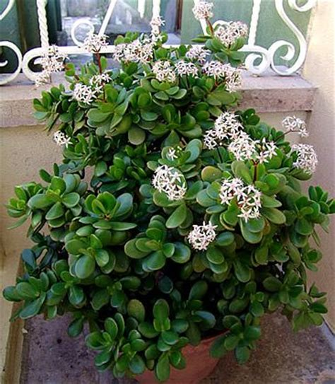 Planta-jade - Crassula ovata - Jardineiro.net