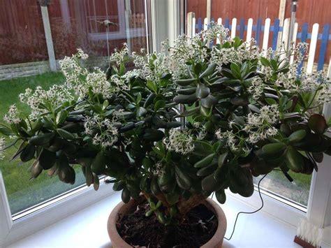 Planta-jade – Crassula ovata | Blog das Flores