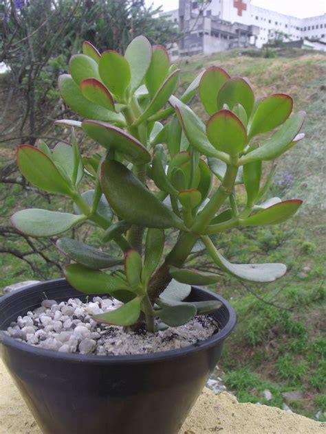 Planta jade #suculenta | Plantas e Jardim | Pinterest ...