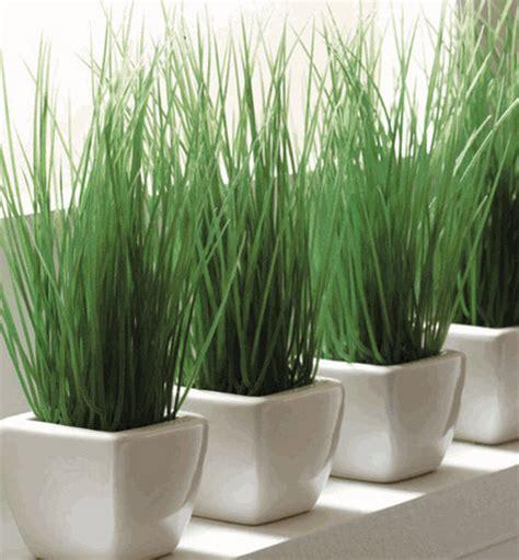 Planta tu propia hierba para gatos   La Loca de los Gatos