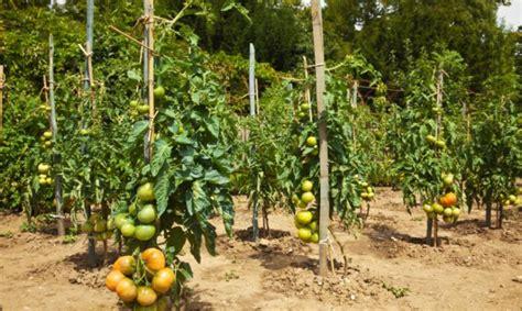 Plantar tomates en la huerta - Hogarutil