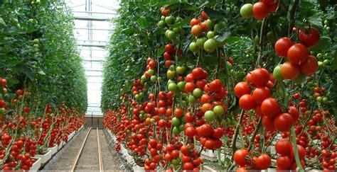 Plantar y Cultivar Tomates. ¡Fácil y saludable ...