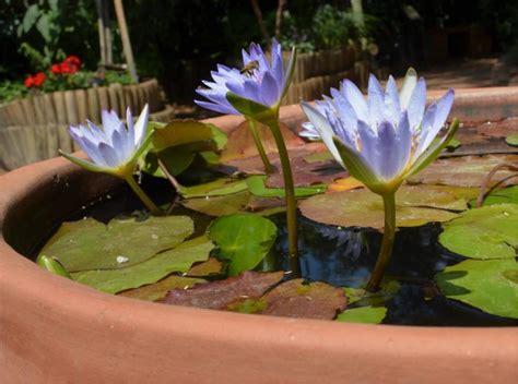 Plantas acuáticas: Nenúfar de Sri Lanka  Nymphaea nouchali ...