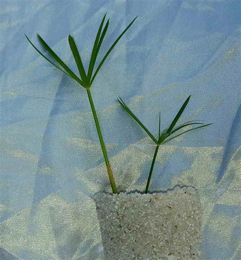 Plantas Acuaticas Palmeras - U$S 5,00 en Mercado Libre