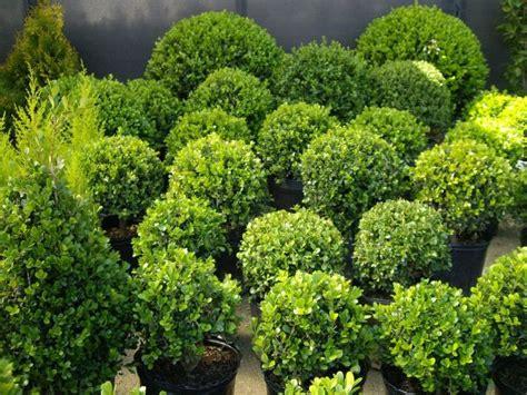 Plantas Boj – Para su jardín o para decorar sus fiestas ...