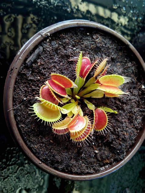 Plantas Carnívoras Con Garantía. - $ 150.00 en Mercado Libre