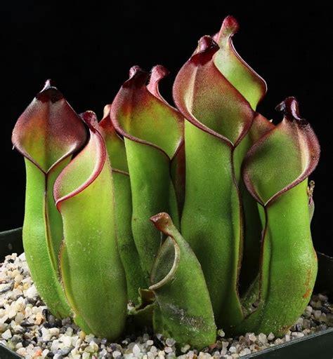 Plantas carnivoras Heliamphoras   Imágenes   Taringa!