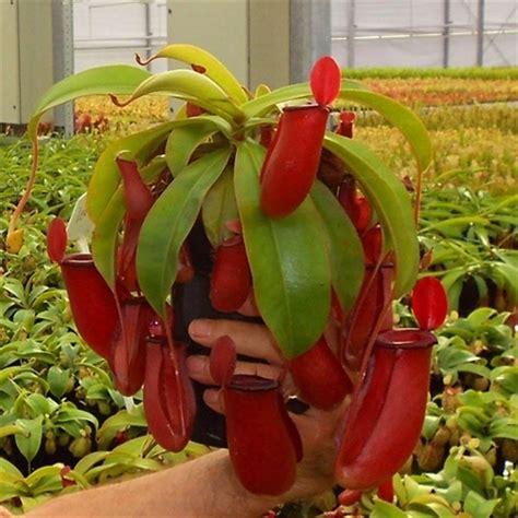 Plantas carnivoras nepenthes   Imágenes   Taringa!