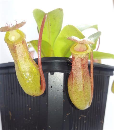 Plantas Carnívoras - Nepenthes Ventrata - $ 150.00 en ...