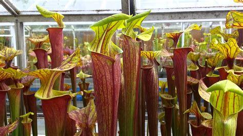 Plantas carnivoras sarracenia   Imágenes   Taringa!