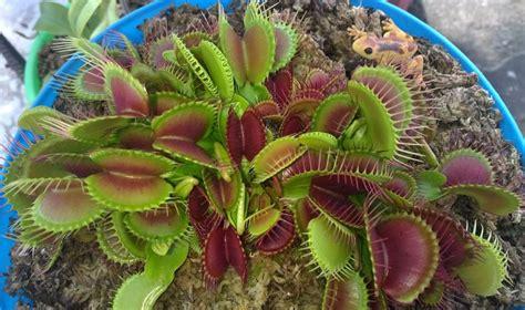 Plantas Carnivoras Venus Atrapamoscas En Musgo Sphagnum ...