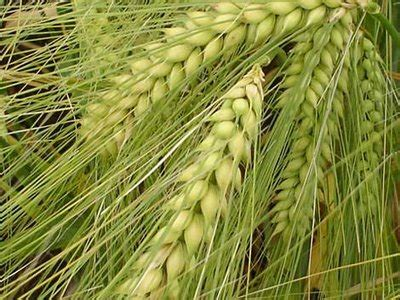 Plantas » CEBADA