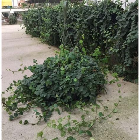 Plantas Colgantes De Exterior Resistentes. Free Plantas ...