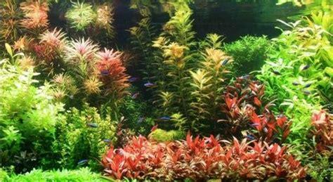 Plantas de acuario   Todo sobre acuarios