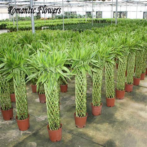Plantas De Bambu popular-buscando e comprando fornecedores ...