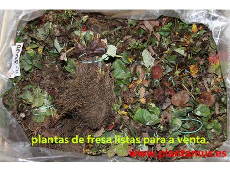 Plantas de fresas a la venta online en Plantamus ®, envíos ...