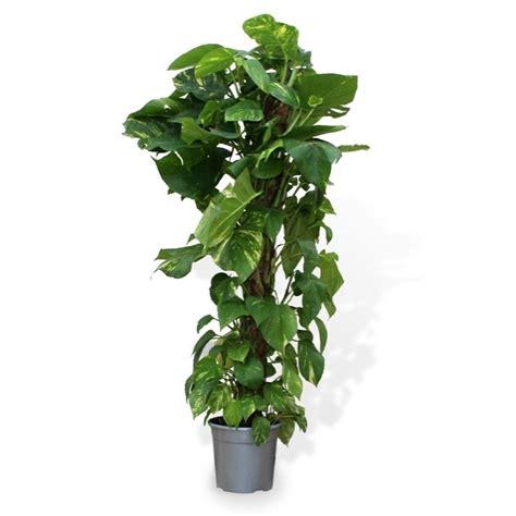 Plantas De Interior Comprar. Awesome Plantas Colgantes Y ...