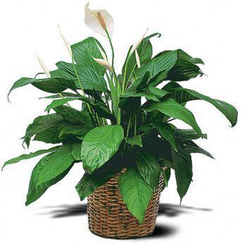 Plantas De Interior Fotos Y Nombres | ... precisa de ...